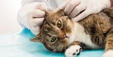 Britisch Kurzhaar, BKH Katzenohrenpflege