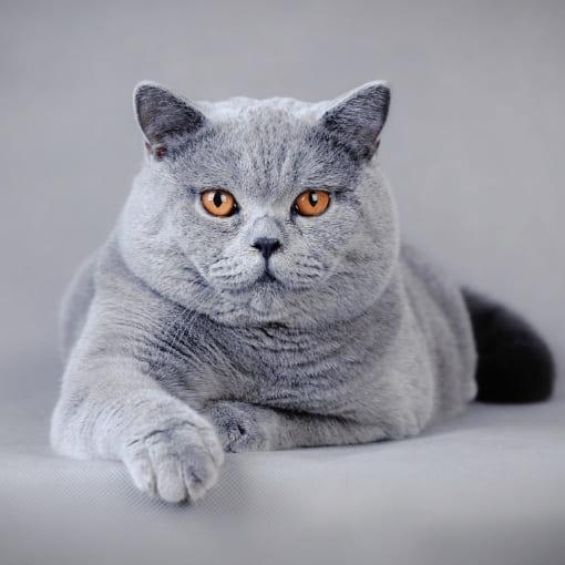 Britisch Kurzhaar Katzen Chraakter