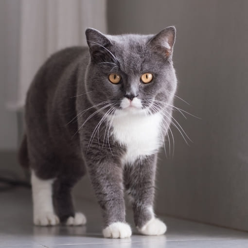 Britisch Kurzhaar Katze Info