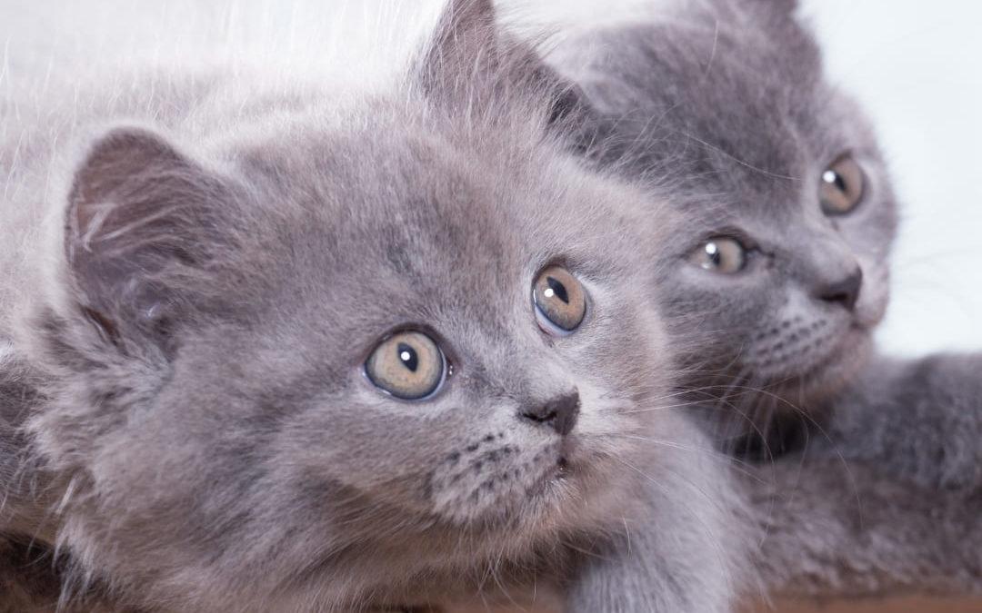 Britisch kurzhaar Katzen Anfänger Leitfaden