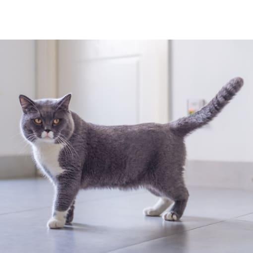 Info Britisch Kurzhaar Katze